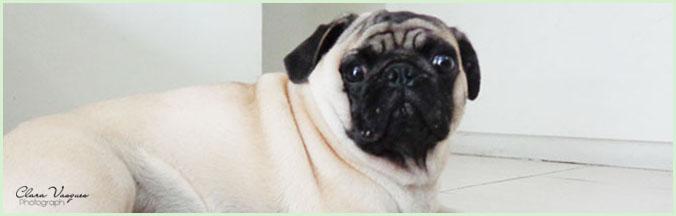 Amor por Pugs